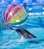 与一个球的海豚在水池 免版税库存照片