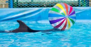 与一个球的海豚在水池 库存图片