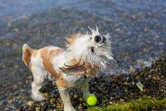 与一个球的逗人喜爱的小的Shih慈济狗在海滩 库存照片