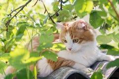 与一个白色乳房的红发猫 图库摄影