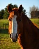 与一个白色斑点的一匹马在他的面孔 库存照片