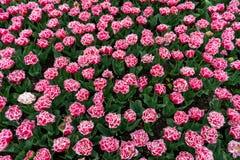 与一个白色边缘的桃红色被装饰的郁金香在一个植物园里在春天 免版税图库摄影