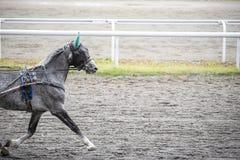 与一个眼罩的灰色马在跑 图库摄影