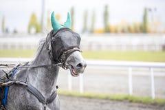 与一个眼罩的灰色马在跑 库存图片
