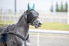与一个眼罩的灰色马在跑 库存照片