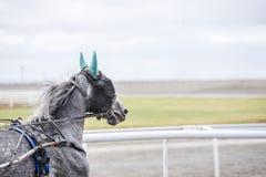与一个眼罩的灰色马在跑 免版税库存图片