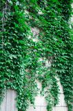 与一个石墙的摇晃的常春藤藤 图库摄影