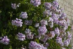 与一个砖墙的美丽的开花的苍白紫罗兰花在 免版税库存照片