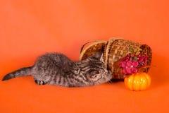 与一个篮子的一只小的蓬松镶边小猫在橙色backgroun 免版税库存图片