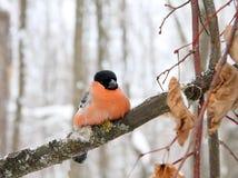 与一个红色乳房的红腹灰雀 免版税库存图片