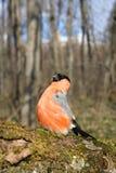 与一个红色乳房的红腹灰雀 免版税库存照片
