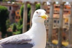 与一个红色冲程的一只大白色鸥在绒毛是陷进的恶意眼睛和额嘴附近 免版税图库摄影