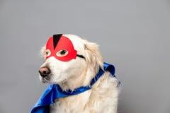 与一个红色英雄面具的白色金毛猎犬和反对灰色无缝的背景的蓝色披肩 库存图片