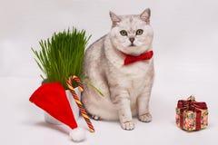 与一个红色蝶形领结的成人白色猫在背景绿草,圣诞节装饰品以礼物,棒棒糖的形式和 免版税库存图片