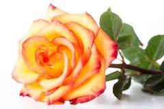 与一个红色边界的黄色玫瑰在瓣 免版税库存照片