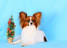 与一个红色头的白色Papillon在蓝色背景说谎 圣诞节的概念和与狗的新年 免版税库存图片