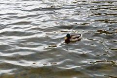 与一个绿色头和黄色额嘴的一只棕色鸭子 库存图片