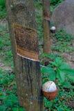 与一个罐的橡胶树在树干 库存图片