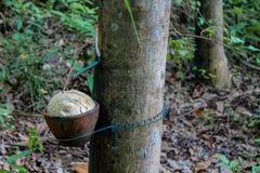与一个罐的橡胶树在树干 库存照片