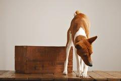 与一个老木箱的美丽的狗 图库摄影