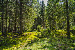 与一个老杉木森林的风景 库存照片
