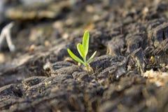 与一个老树桩的一个小绿色新芽 腐烂的树桩和小绿色植物 免版税图库摄影