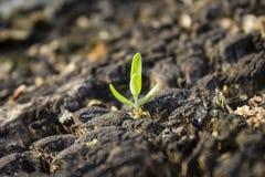 与一个老树桩的一个小绿色新芽 腐烂的树桩和小绿色植物 图库摄影