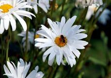 与一个臭虫的白花在简单的绿色背景 免版税图库摄影