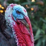 与一个蓝色头的美妙地详述的火鸡 库存照片