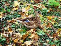 与一个蓝色斑点的一只美丽的棕色灰色鸭子 图库摄影