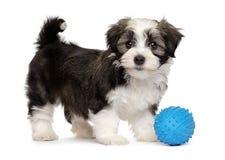 与一个蓝色玩具球的逗人喜爱的havanese小狗 库存照片