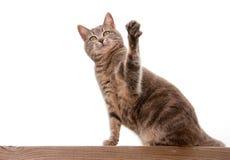 与一个被举的爪子的蓝色虎斑猫 免版税图库摄影