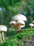 与一个装饰纹理背景绿色森林青苔和蘑菇的宏观照片 库存图片