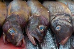 与一个褐红的头和发光的标度,眼睛明亮的蓝绿色颜色的三条海鱼 库存图片