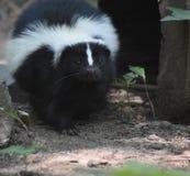 与一个逗人喜爱的矮小的黑鼻子的野生臭鼬 免版税库存图片