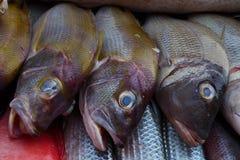 与一个顶头褐红的身体的三个异乎寻常的海鱼和发光的绿色标度,眼睛明亮的颜色蓝绿色,开放嘴,神色喜欢 免版税库存照片