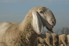 与一个高尚的头的绵羊 免版税库存照片