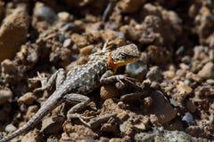 与一个黄色脖子的一只灰色蜥蜴和在头附近的红色小条在棕色石头中 免版税图库摄影