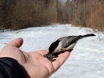 与一个黑头的一只小灰色鸟吃着在他的手上的向日葵种子 库存图片