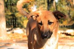 与一个黑鼻子的姜流浪狗在一明亮的晴朗的秋天天 免版税库存照片