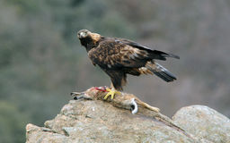 与一个水坝的鹫在岩石 免版税库存照片