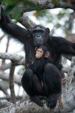 与一个婴孩的一只母黑猩猩美洲红树树的 刚果共和国 免版税库存图片