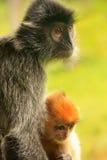 与一个年轻婴孩的变成银色的叶子猴子,婆罗洲,马来西亚 免版税库存图片