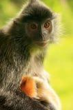 与一个年轻婴孩的变成银色的叶子猴子,婆罗洲,马来西亚 库存图片