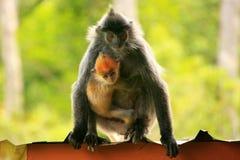 与一个年轻婴孩的变成银色的叶子猴子,婆罗洲,马来西亚 图库摄影