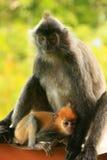 与一个年轻婴孩的变成银色的叶子猴子,婆罗洲,马来西亚 免版税库存照片