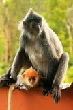与一个年轻婴孩的变成银色的叶子猴子,婆罗洲,马来西亚 库存照片