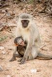 与一个婴孩的黑长尾小猴在克留格尔国家公园,南非 库存图片
