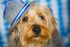 与一个巴法力亚帽子的约克夏狗 免版税库存照片