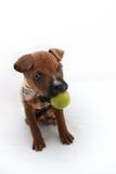 与一个绿色球的拳击手小狗 免版税库存图片